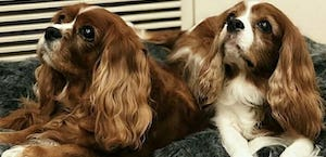 King Charles spaniels on ambient lounge bed