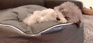 Poodle lying on grey dog bed