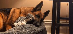 German Shepherd sleeping on dog bed