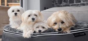 Four Maltese sitting together on dog bed
