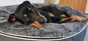 Rottweiler puppy lying on grey dog bed