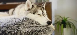 Siberian Husky sleeping on dog bed