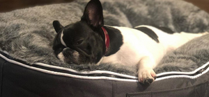 Sleepy french bull dog on grey dog bed