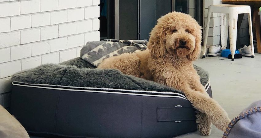 Cavoodle loves to hang out on his ambient lounge luxury doggy bed in Australia