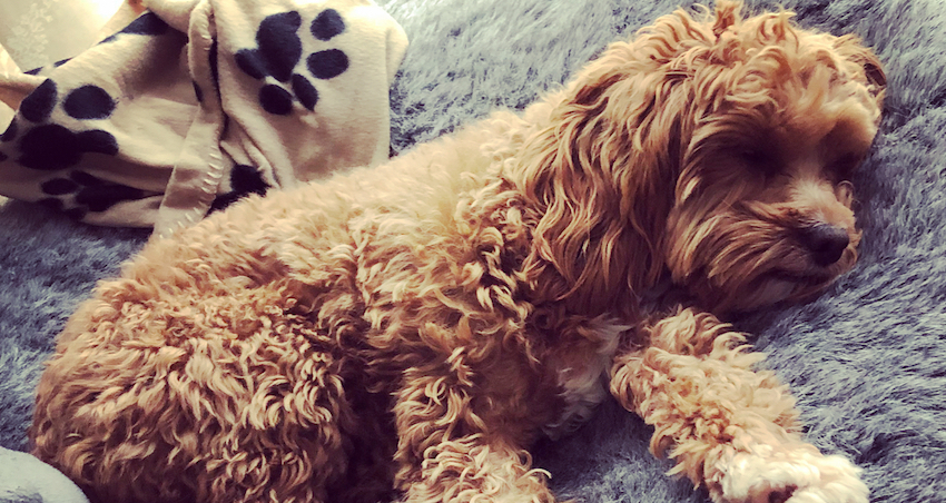 Cavoodle snuggling up on an ambient lounge pet bed with teddy bear. sleeping cavoodles are the cutest