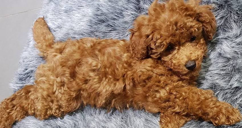 the Cutest toy cavoodle pup snuggles joyfully on his new ambient lounge luxury faux fur dog bed