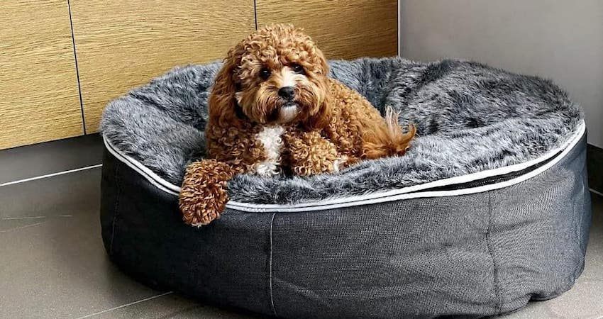 Leo the Australian toy cavoodle adores his new ambient lounge pet bed. It was love at first sit. So cute.