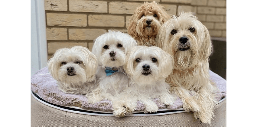 Four Maltese sitting on large cappuccino dog bed