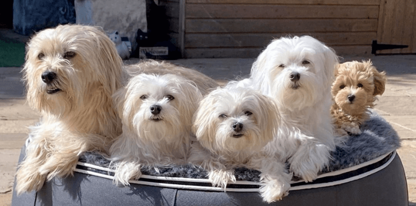 Four Maltese dogs sitting on grey dog bed
