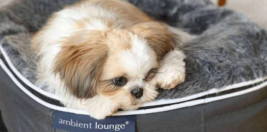 Maltese dog sleeps on dog bed