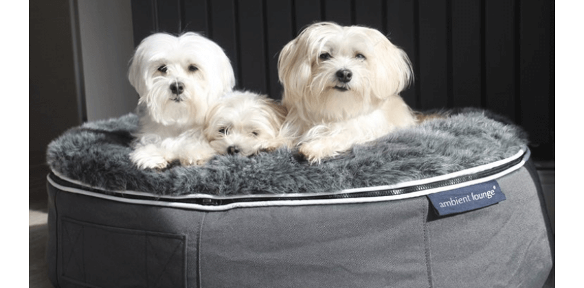 Three Maltese Dogs chilling on Ambient Lounge grey dog bed
