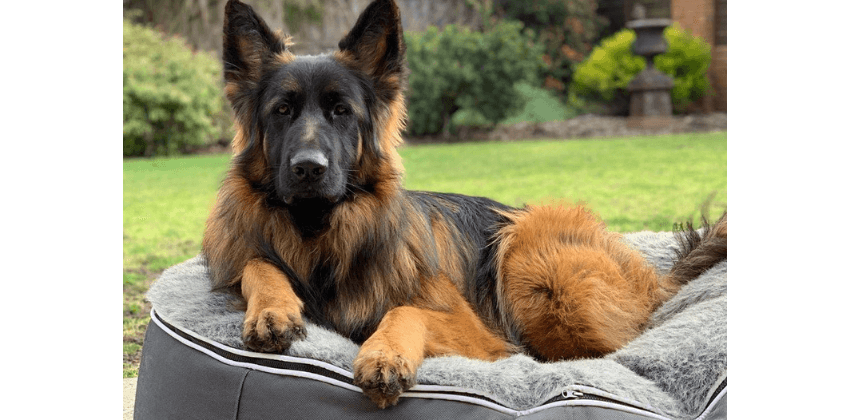 German Shepherd sitting on dog bed outside