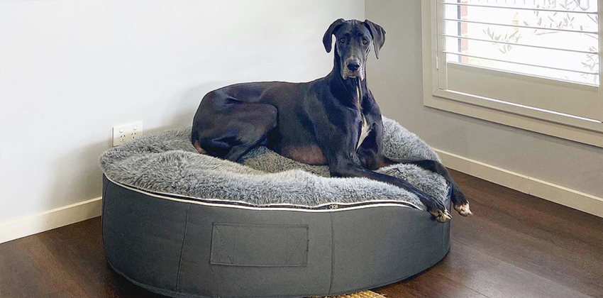 Giant Great Dane sitting comfortably on top of an Ambient Lounge luxury XXL pet bed