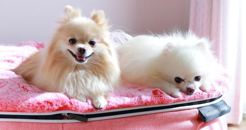 Luxury Pink Dog Beds by Ambient Lounge - Australia's most luxury pink fur dog beds for small dogs