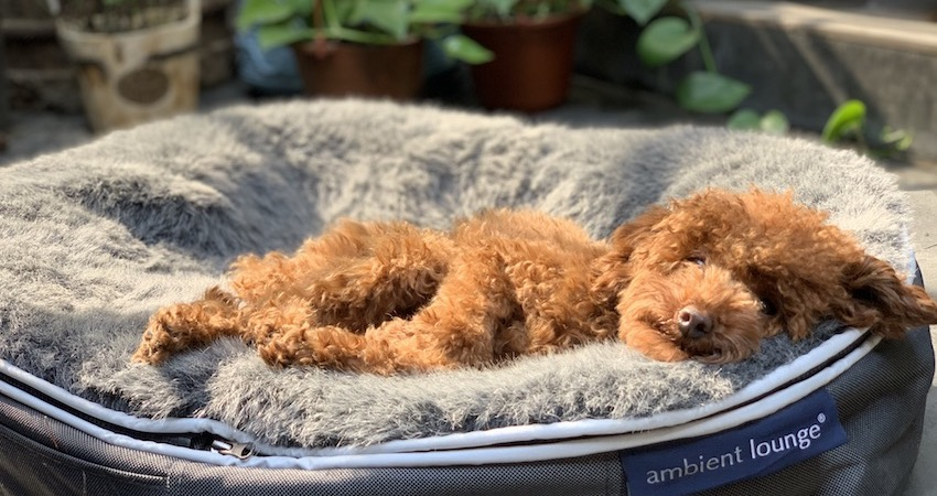 super cute Cavoodle Sleeping on an Ambient Lounge luxury pet bed outside on the balcony in the sunshine